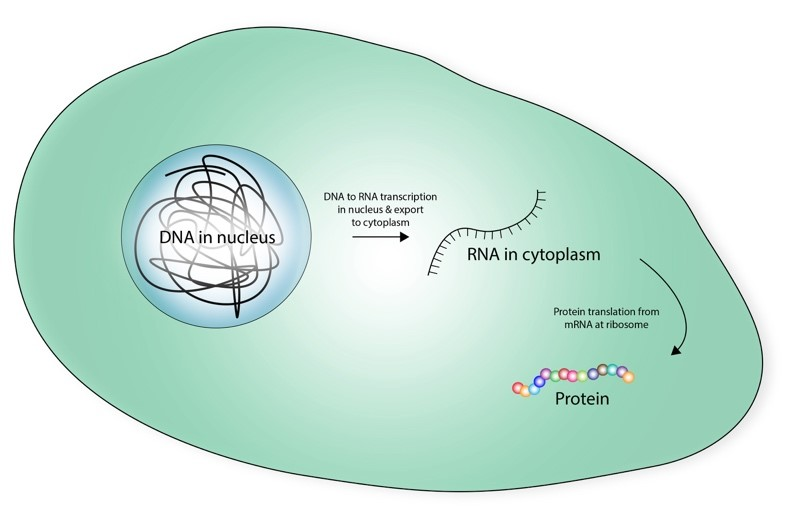 The DNA-RNA-Protein paradigm