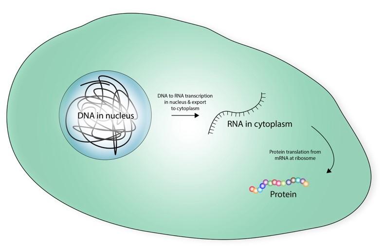 The DNA-RNA-Protein paradigm